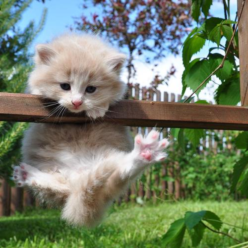 Acrobat white kitty