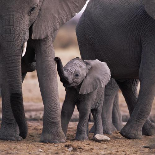 African elephant calf with herd