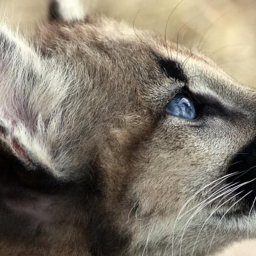 Amazing photo of Cougar Cub wallpaper