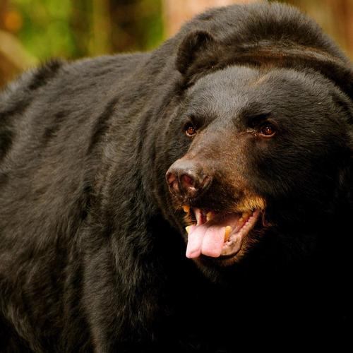 American Black Bear taustakuvat