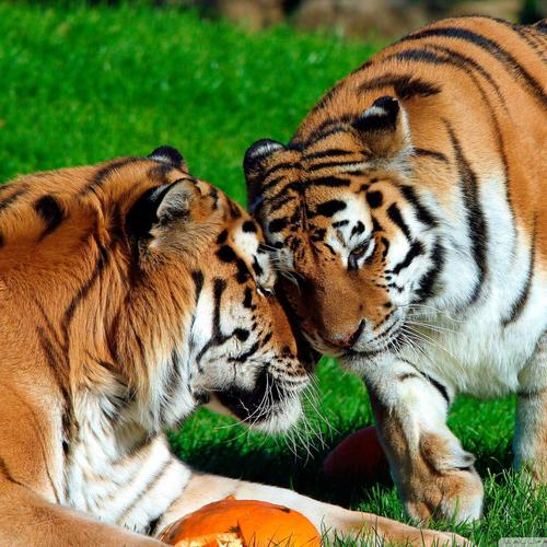 Amur Tigers couple