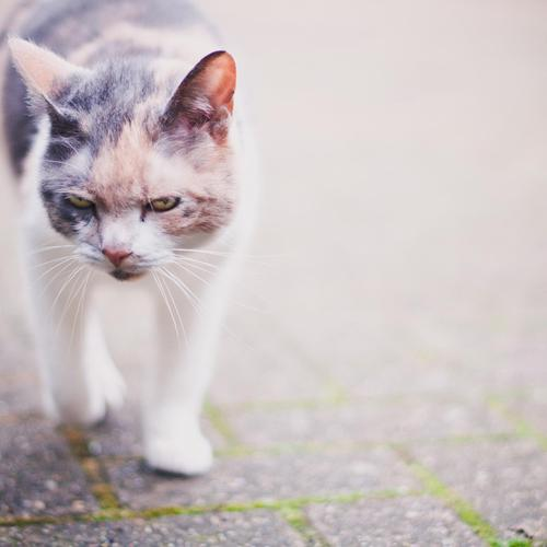 Angry cat walking wallpaper