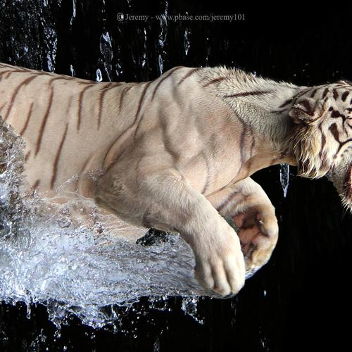 Angry white tiger jumping over the water