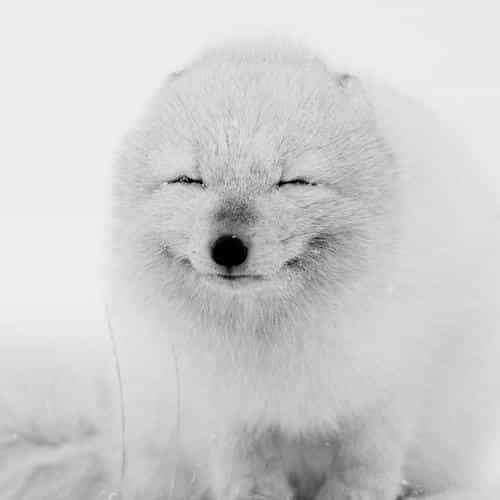 arctic fox happy moment