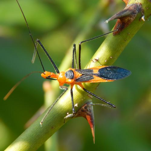 Assassin bug macro