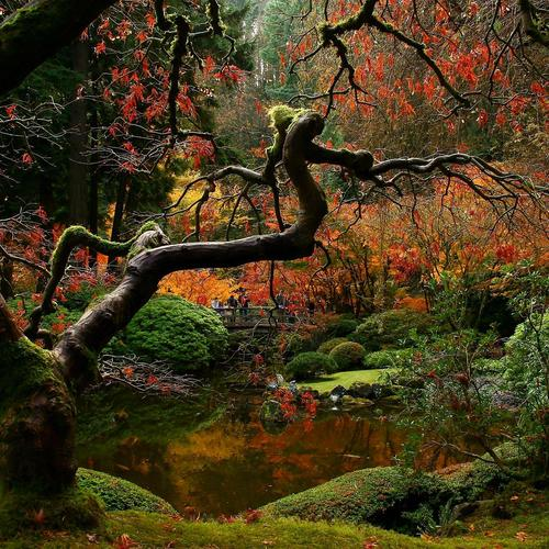 Autumn Japanese maple wallpaper