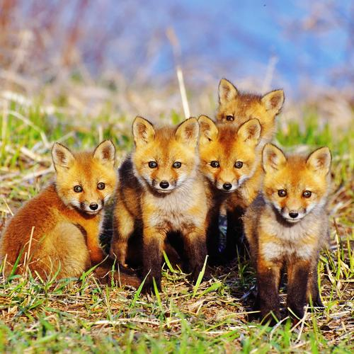 Baby foxes wallpaper