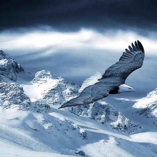 Bald Eagle flying above snow mountain