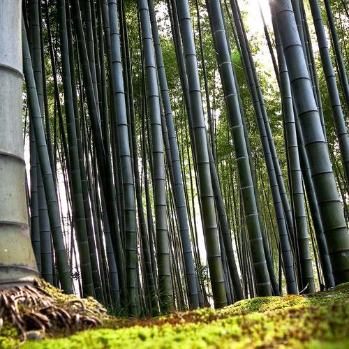 Beautiful bamboo forest wallpaper