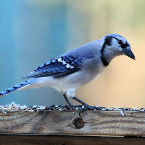 Beautiful blue Jay bird