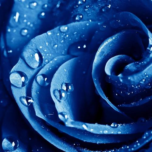 Beautiful blue Rose with dewdrops