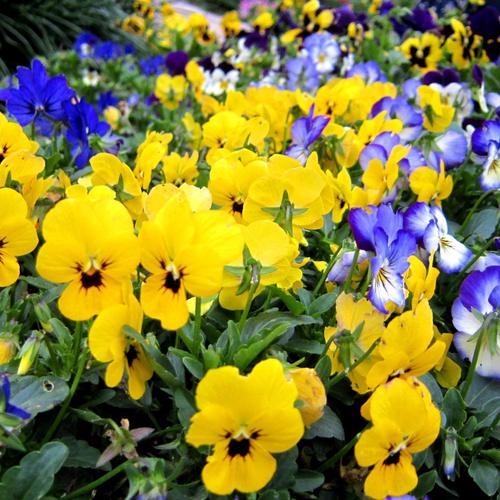 Beautiful garden of Pansies wallpaper