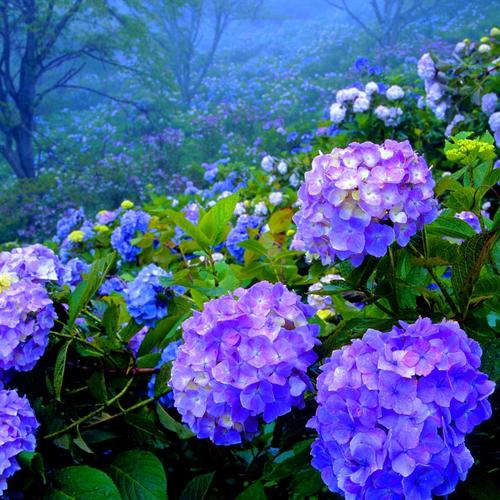 Beautiful Hydrangea garden wallpaper