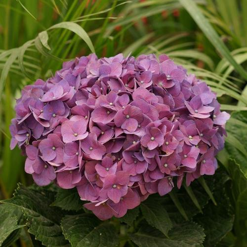 Beautiful pink Hydrangea flower