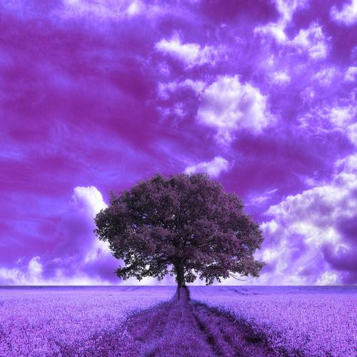 Beautiful purple field wallpaper