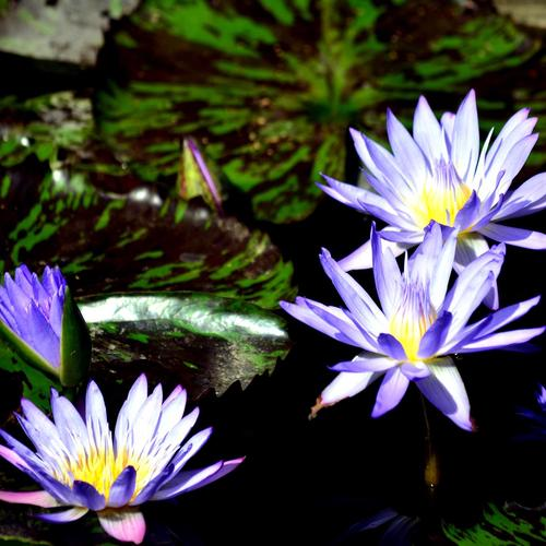 Beautiful purple lotus wallpaper