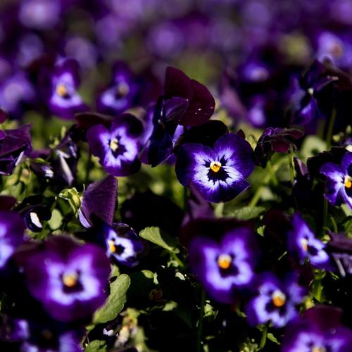Beautiful purple pansies macro