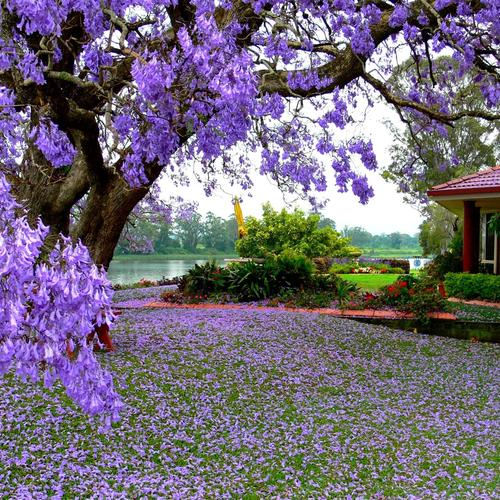 Beautiful purple tree beside the lake wallpaper