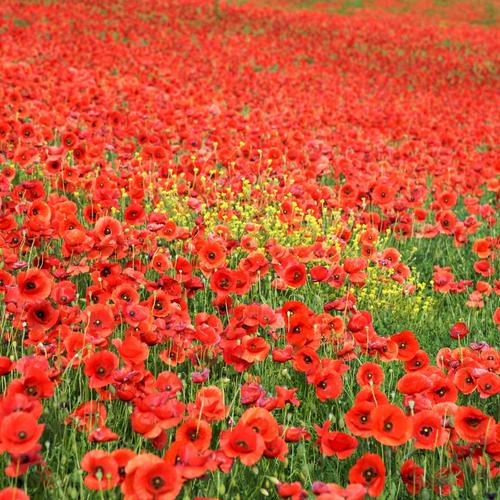 Beautiful red flower field wallpaper