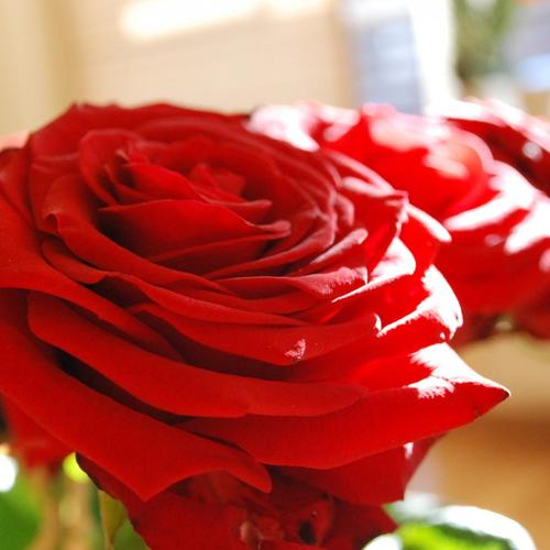 Beautiful Red Rose Petals wallpaper