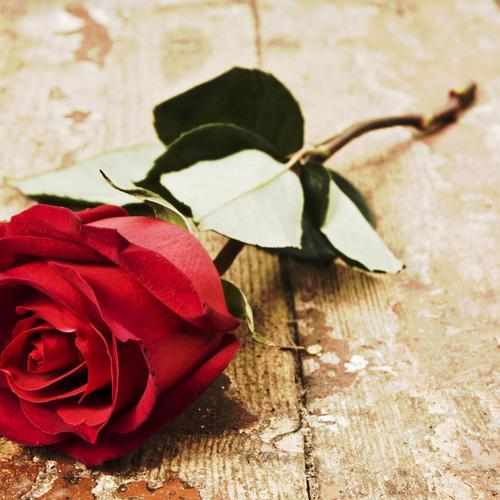 Beautiful rose on the wood floor