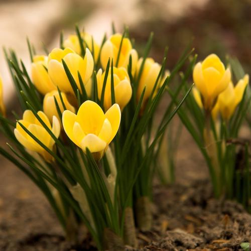 Beautiful yellow Crocus flower wallpaper