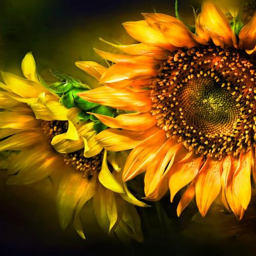Beauty sunflower