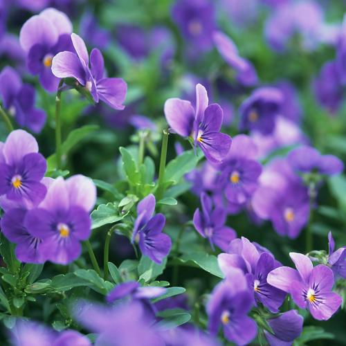 Beauty violet flower wallpaper