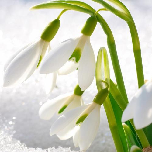 Beauty white flower in the snow wallpaper