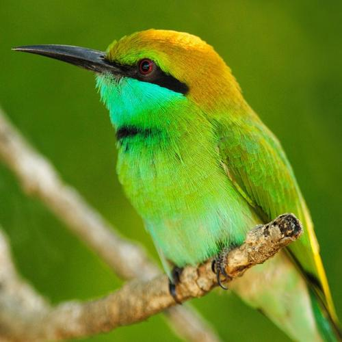 Bee eater wallpaper