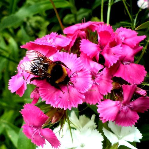 Bee on the pink flower wallpaper