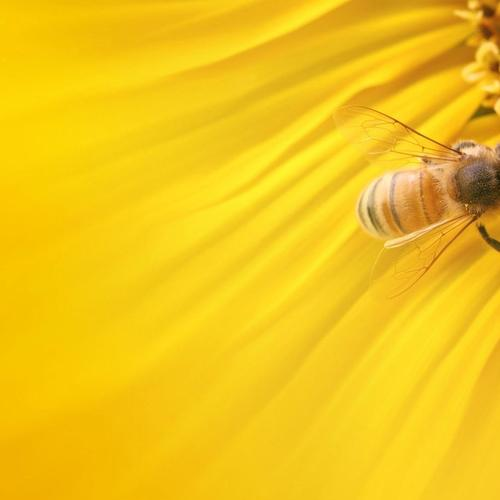 Bee on yellow sunflower wallpaper