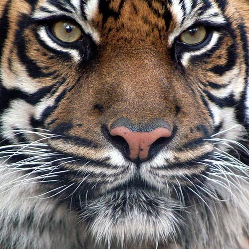 Bengal tiger face wallpaper