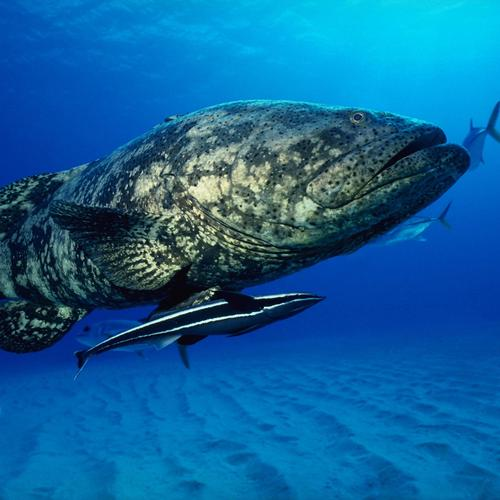 Big fish under blue ocean wallpaper