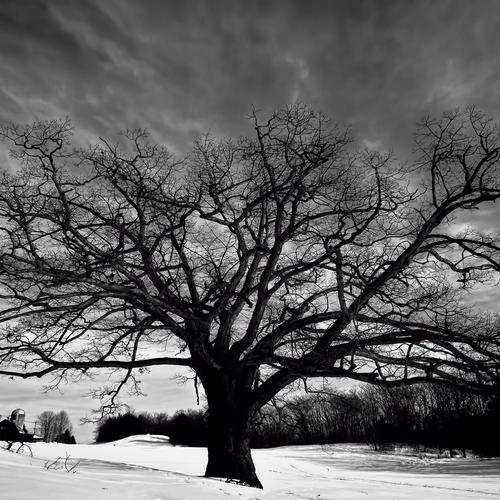 Big oak tree black and white wallpaper