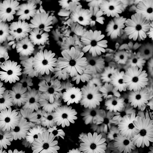 Black and white daisy flower