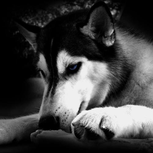 Black and white Husky dog wallpaper