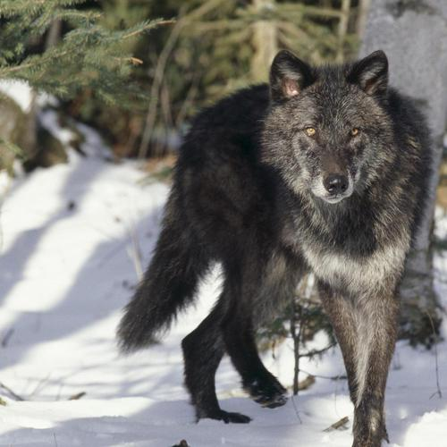 Black gray wolf wallpaper