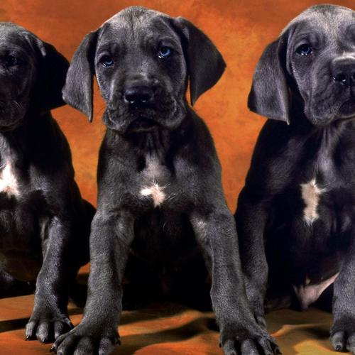 Black labrador puppies wallpaper