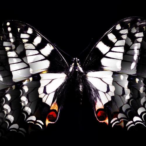 Black & White Butterfly wallpaper