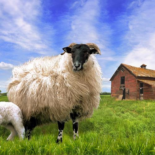 Blackface Sheep In Barn Meadow wallpaper
