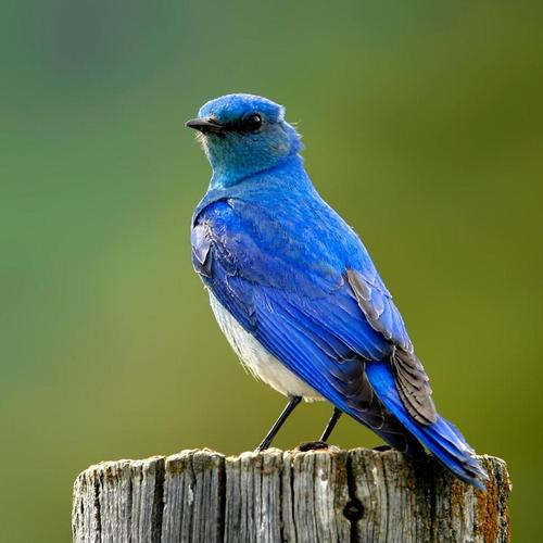 Blue bird standing on the pole