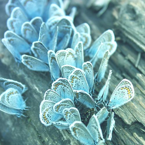 Blue butterflies wallpaper