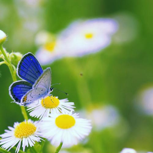 Blue butterfly on daisy flower