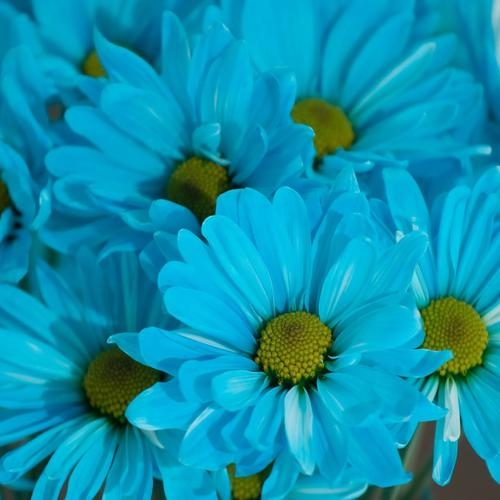 Blue daisy flower wallpaper