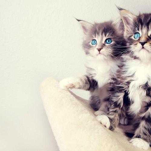 Blue-eyed Kitten wallpaper