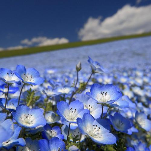 Blue flower field wallpaper
