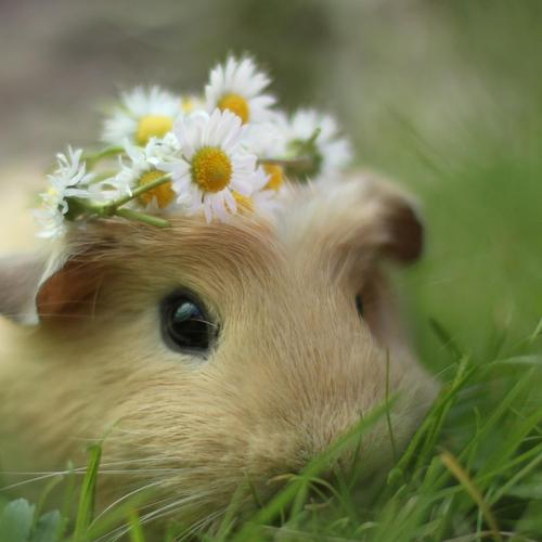 Bride hamster on grass close up