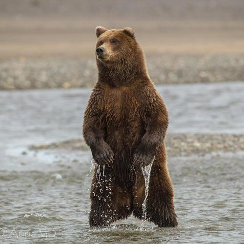 Brown Bear at the river