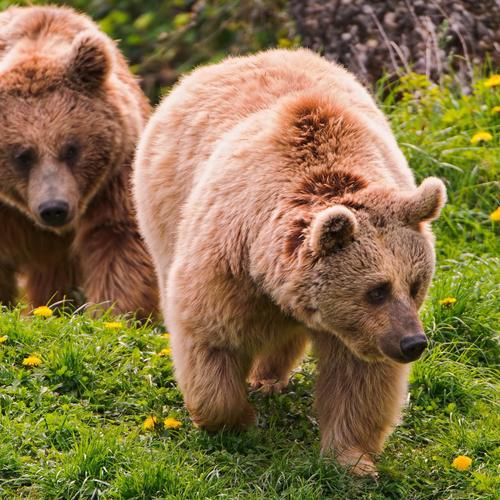 Brown bears on grass